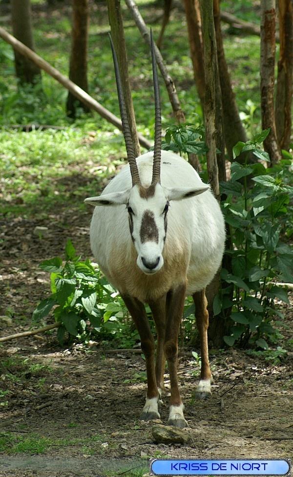 http://faaxaal.forumgratuit.ca/t1725-photos-de-mammiferes-oryx-d-arabie-oryx-leucoryx-oryx-blanc-antilope-leucoryx  Photos gratuites et libres de droits de mammifères : Oryx d'Arabie - Oryx leucoryx - Oryx blanc - Antilope leucoryx     Faune d'Arabie - Animaux de la péninsule arabique - Faune du désert - Photos d'Oryx dans le Domaine Public
