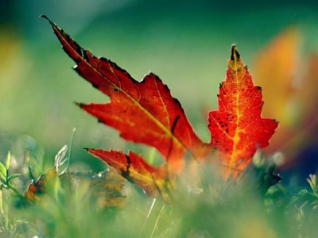 50 Autumn Wallpapers That Will Take Your Breath Away: Red Leaf in Grass by Wallpaper Stock