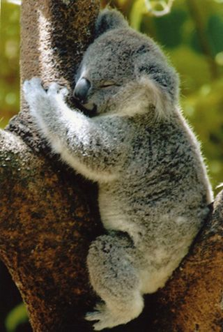 Click here for information about this Australian Koala photo. You can buy handmade greeting cards featuring this photo for $4.50 delivered. www.theshortcollection.com.au/Australian-Animals