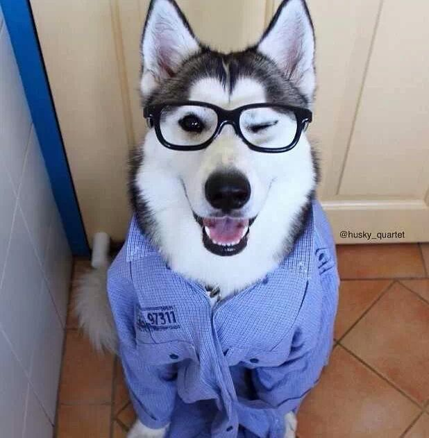 Studious Siberian Husky named Blaze wearing his eyes from husky_quartet.