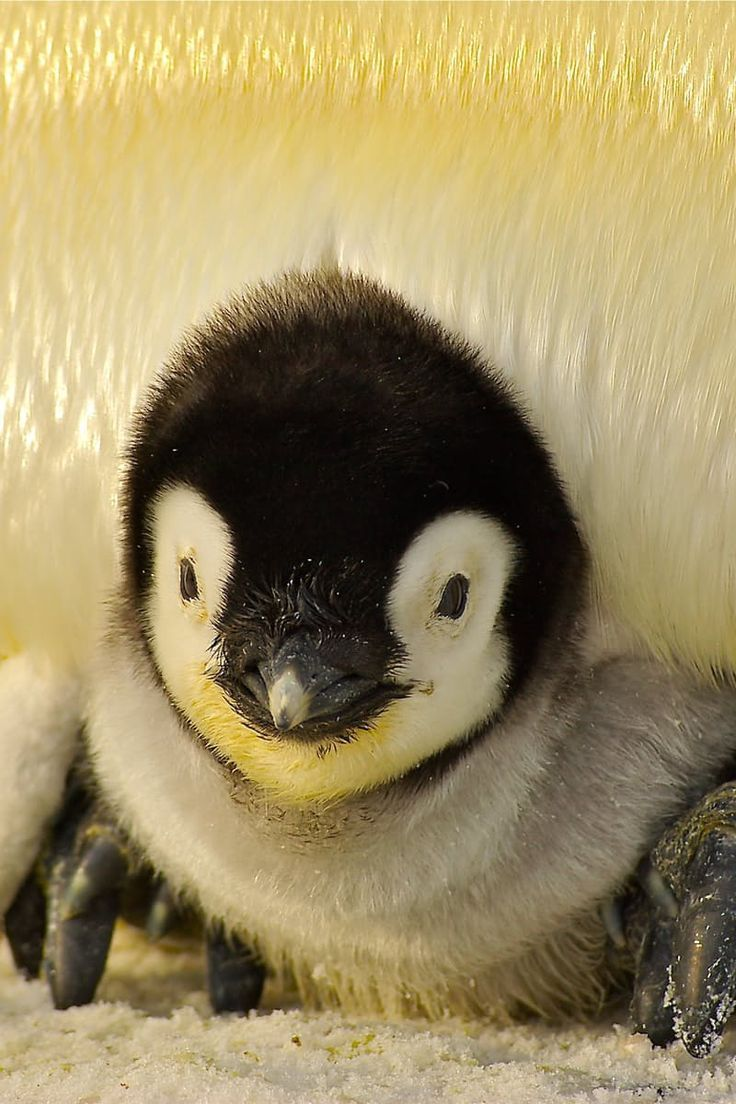Baby emperor penguin stays with its parents at the polar house of - S W E E T Penguin Baby