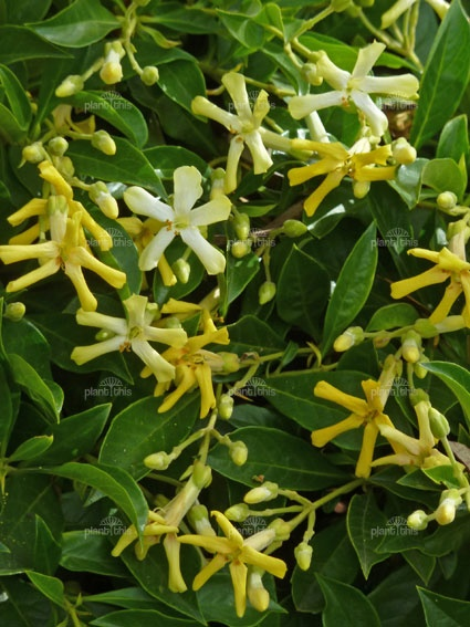 Hymenosporum flavum, or Native Frangipani, is a rainforest tree which is native to Queensland and New South Wales in Australia and New Guinea.