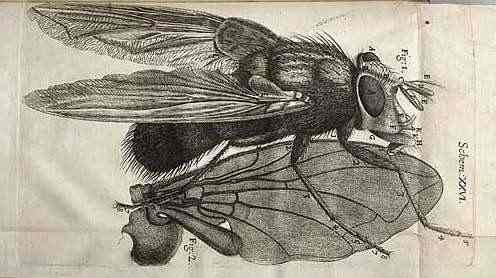 """Isle of Wight History: The Life of Robert Hooke. illustration from """"Micrographia"""""""