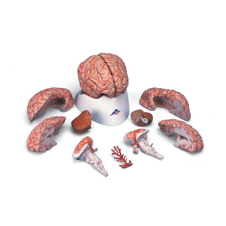 n°9 - Modèle anatomique Cerveau avec artères, en 9 parties → 1 vote