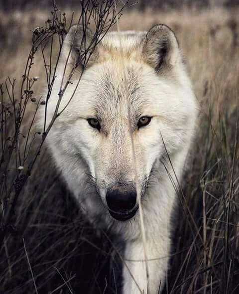 A White Wolf Walking Through Some Brush.