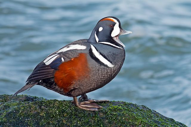 34 best images about Beautiful Harlequin Duck Photography ... - photo#22
