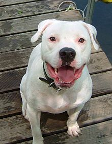 American Bulldog this looks just like our dog and we are looking for another on not only are they beautiful they are great with kids