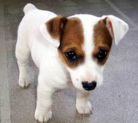 Choice Jack Russell Terrier Photo: Here comes trouble!