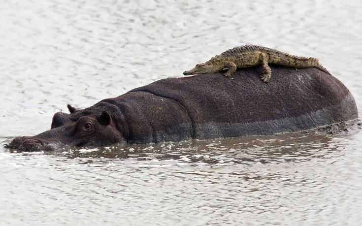 a hippo and baby croc