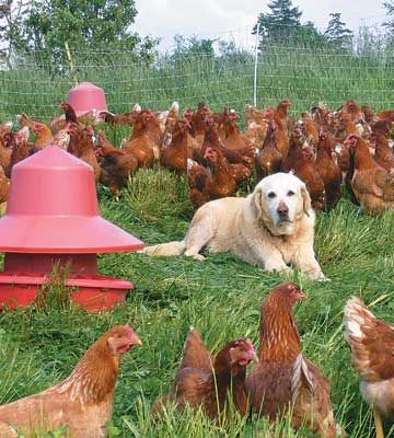 Hen protection depends on a sturdy coop and, sometimes, a faithful watchdog.  By Shannon Somers-Mueller
