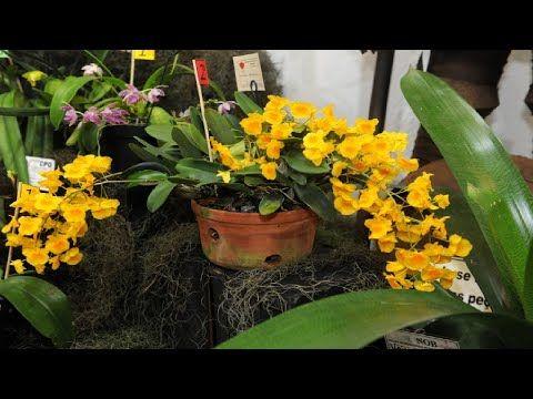 Como deixar suas orquídeas bonitas e mais saudáveis - YouTube