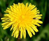 Dandelion really ought to hold a place of royalty in anyone's yard or garden. Although thought of as a weed by those who don't know any better, all parts of the dandelion plant is useful!