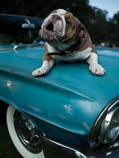 Car alarm #english #bulldog #englishbulldog #bulldogs #breed #dogs #pets #animals #dog #canine #pooch #bully #doggy #creative #car