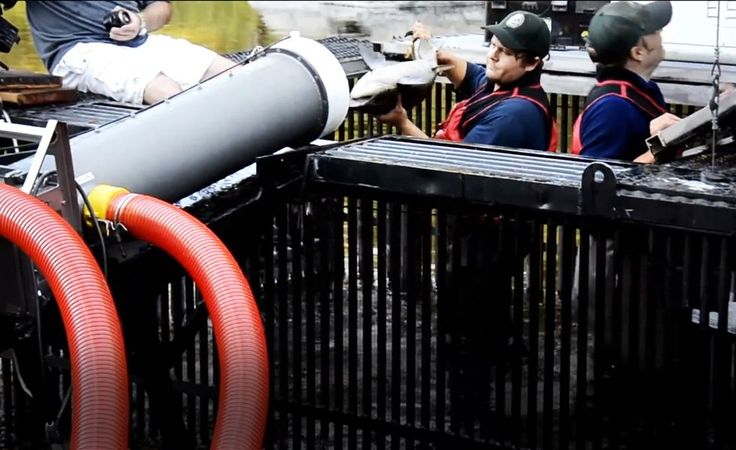 Watch This 'Salmon Cannon' Shoot Endangered Fish Through a Tube—to Save Them | TakePart