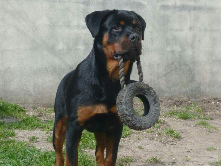 Rotties love even miniature tires