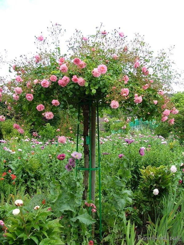 A standard rose adds height in a border