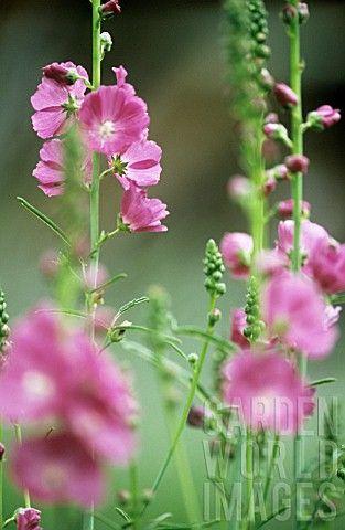 Tall Garden Flowers 121 best favorite perennials images on pinterest   perennials