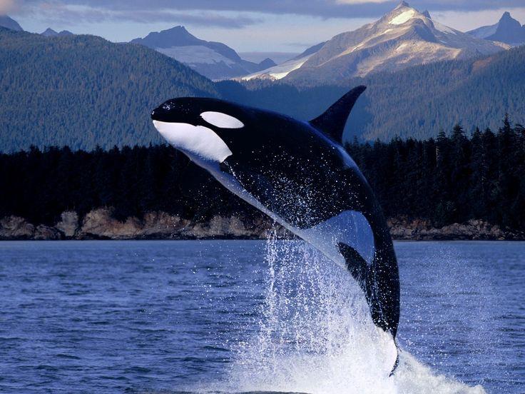 My Favorite AnimalThe Killer Whale