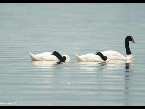 BASILIO-----cisne cuello negro, cisne cuello blanco.wmv - YouTube