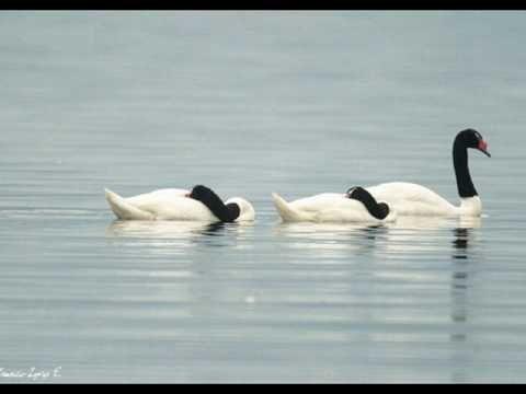 'Cisne cuello negro, cisne cuello blanco': Basilio.