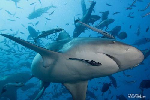 shark dive fiji aqua trek kinda already been but would love to go back!