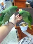 Here are two gorgeous Alexandrines at 10weeks old. They are very friendly and affectionate #birds