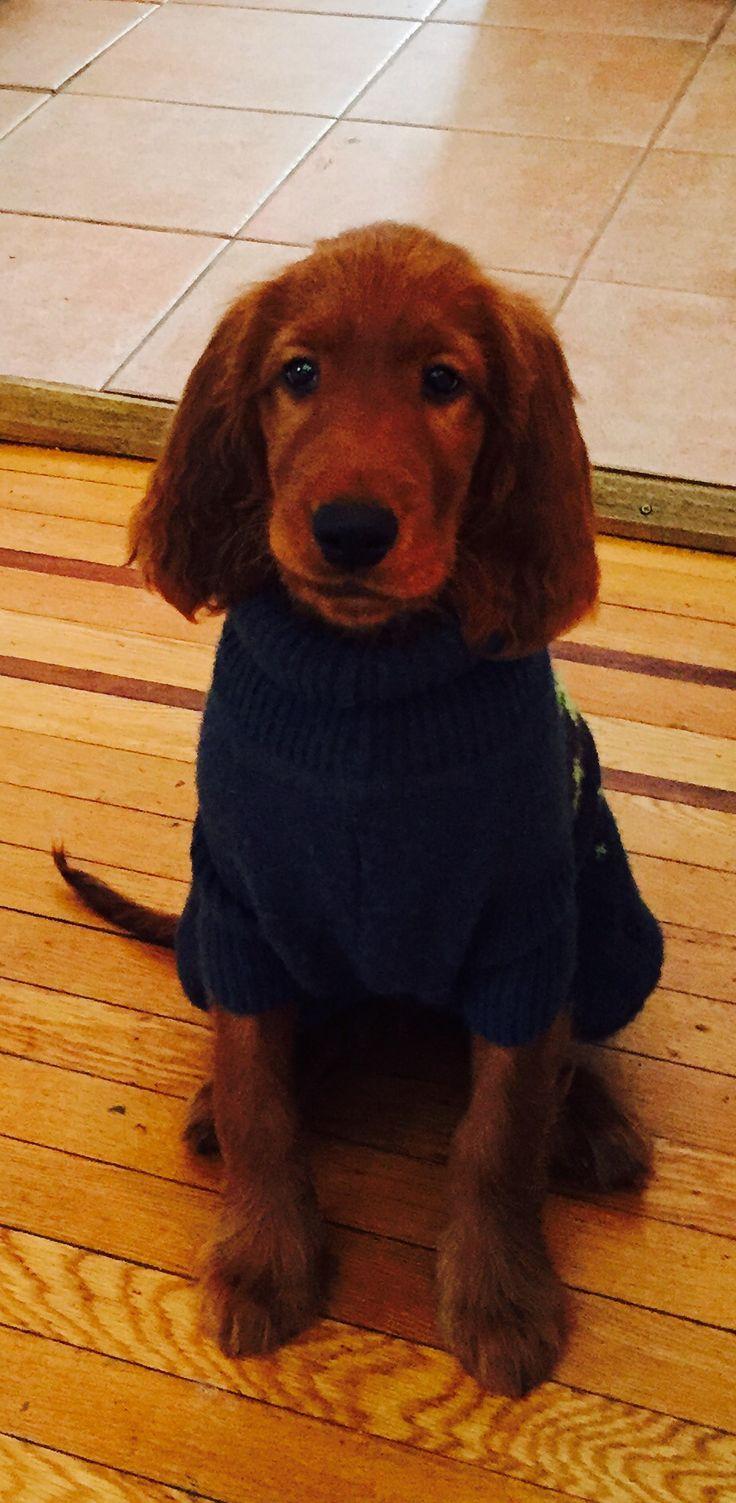 Irish setter puppy in a sweater
