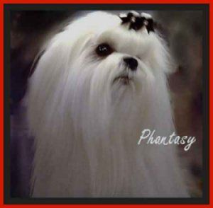 47 Best Maltese Breeders Images On Pinterest Doggies Cubs And Maltese Dogs