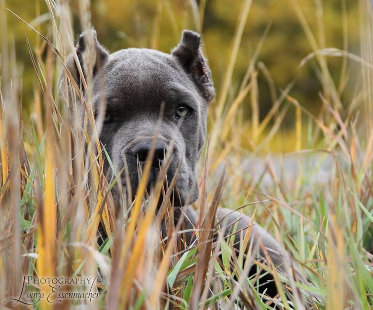 #Cane #Corso #puppy - About Time's Diamonds are Forever! Photography by Laura Essenmacher