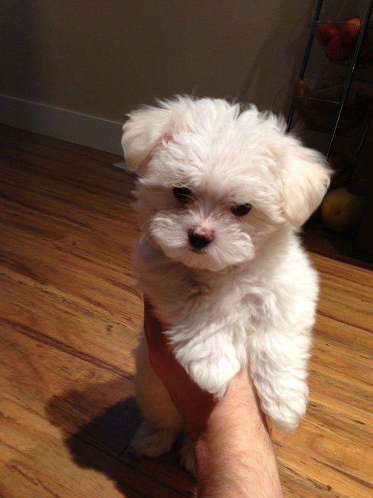 Oliver as a puppy #maltese