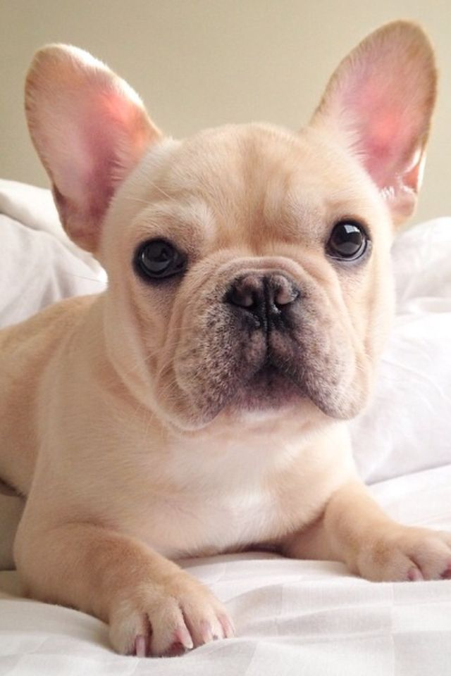 Frenchiebutt on Instagram too cute French bulldog blonde