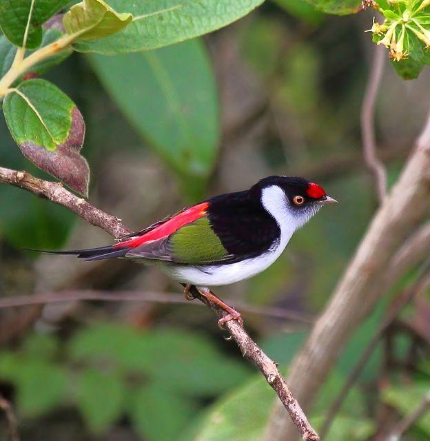 Foto tangarazinho (Ilicura militaris) por Sergio Murilo | Wiki Aves - A Enciclopédia das Aves do Brasil