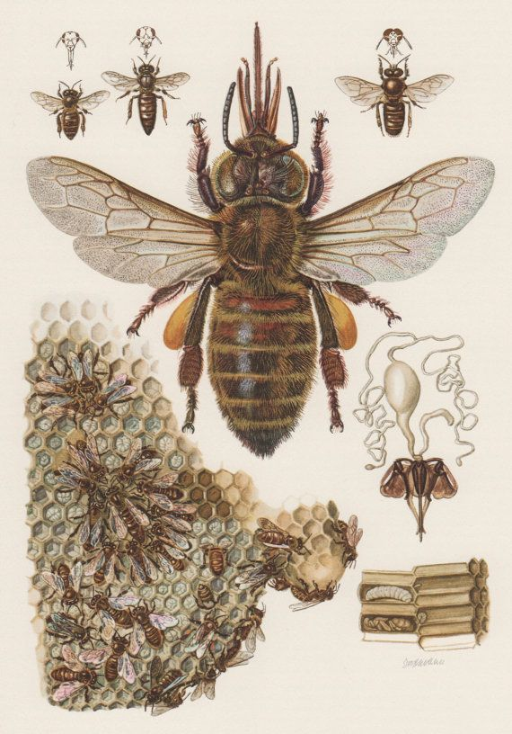 Old Lithograph Prints | 1957 European Honey Bee Antique Print, Vintage Offset Lithograph ...