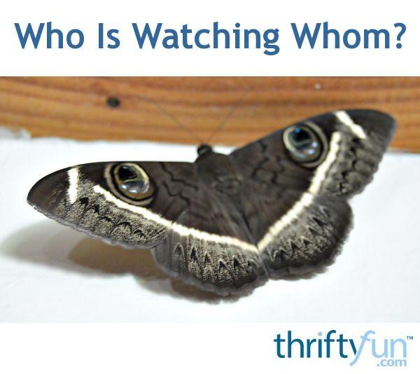 Close-up image of an owl moth