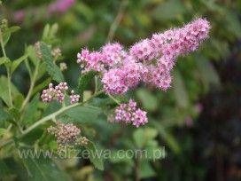 Tawuła Billarda Spirea billardii - tawuła wysoka żywopołotowa, dorasta do 1,5 m; odporna na mrozy, odporna na zasolenie oraz suszę; kwiaty różowo-fioletowe