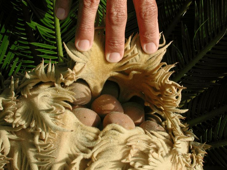 The Garden of Eaden: HOW TO GROW THE SAGO PALM FROM SEED