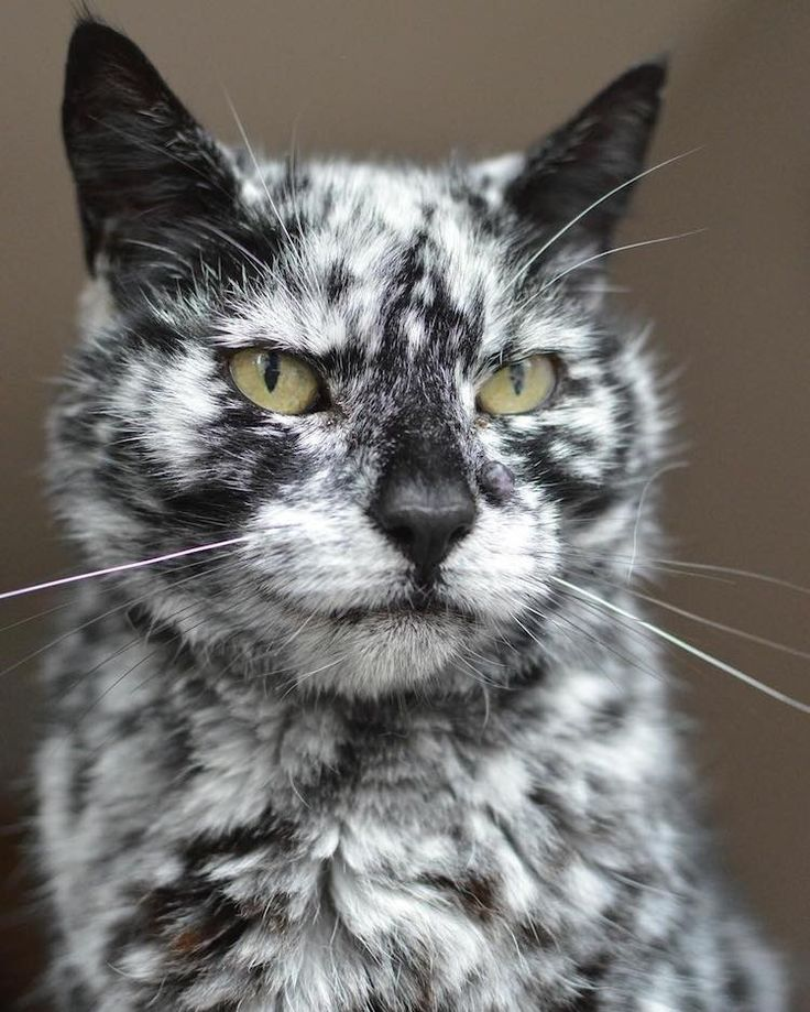 Scrappy the cat - As the cat turned seven years old, his fur began sprouting white patches among his previously all-dark coat. This phenomena was most likely due to vitiligo, a rare skin condition that causes this brilliant marbling in feline fur.