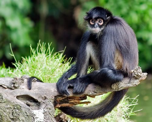 What+Fruits+Do+Monkeys+Eat | monkey facts for kids1 Spider Monkey Facts For Kids | Spider Monkey ...