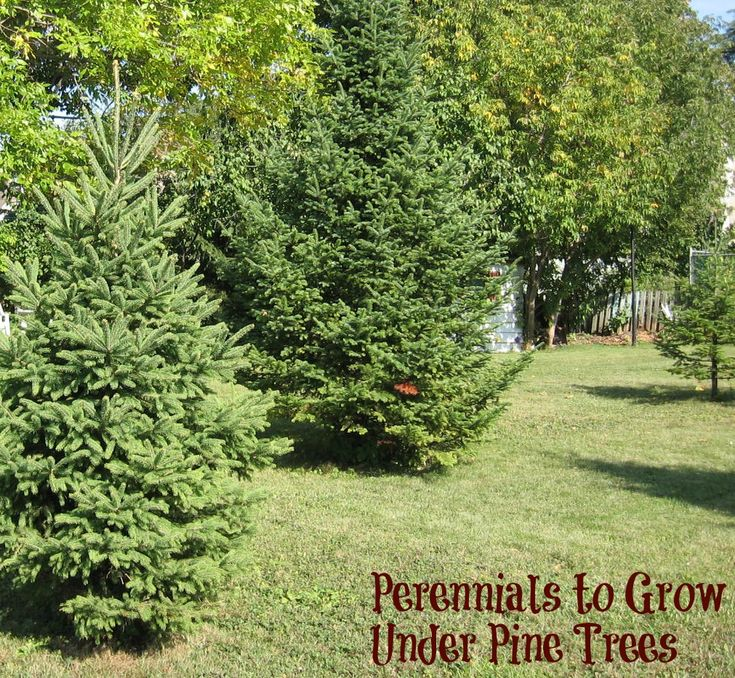 Planting Under Pine Trees Garden : Perennials to grow under pine trees and