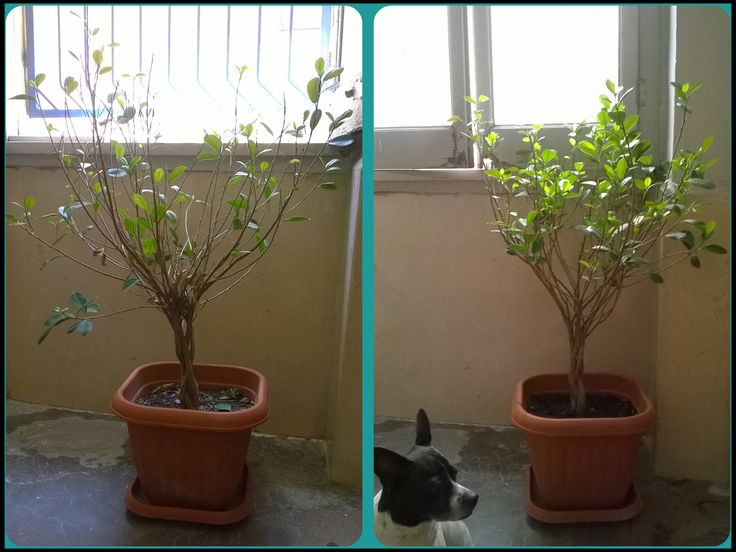 10days after and my dog ficus benjamin