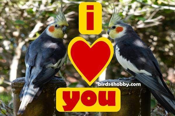 هواية الطيور Birds4hobby طيور الكروان تغريد ذكر طائر الكوكتيل لتزاوج لتحفيز In 2020 Cockatiel Birds Animals