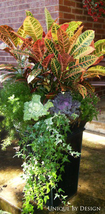 Fall Container<<< Croton, Ornamental cabbage, Ivy