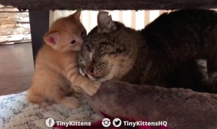 Dying Senior Cat Was Rescued Off The Streets, But Then 2 Kittens Gave Him A Reason To Live | The Animal Rescue Site Blog