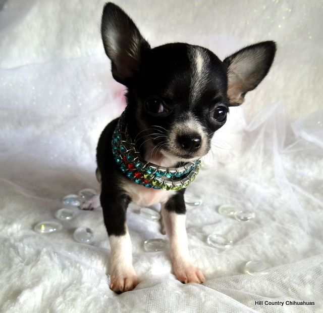 Puppies For Sale Hill Country Chihuahuas Puppies For Sale