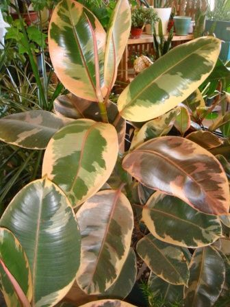 rubber plant ficus tineke tropical house plantstropical