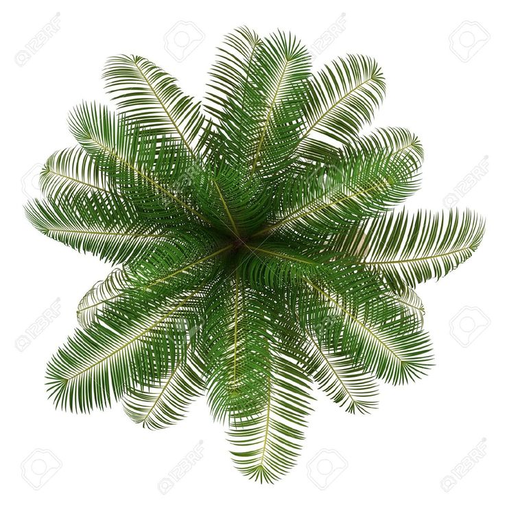 14701249 Top View Of Coconut Palm Tree Isolated On White