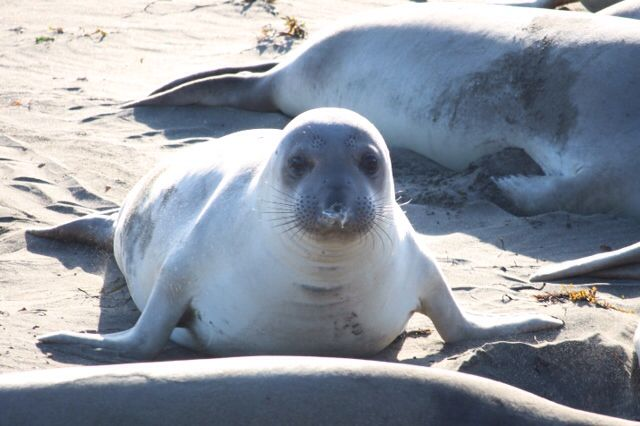 Seal nr Cambria CA, USA taken by Susanne