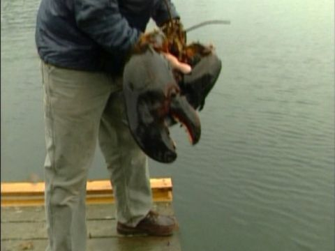 GIANT LOBSTER caught in Maine One of the largest lobsters ever caught in Maine is set free.