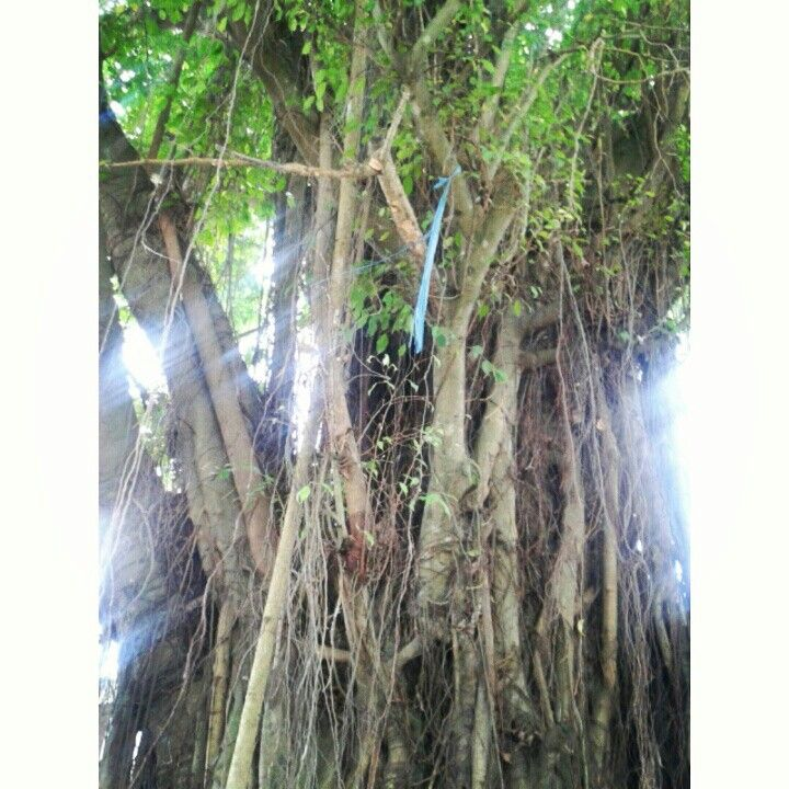Beringin Tree