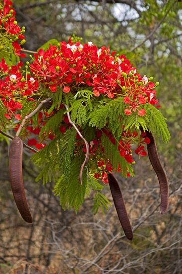 Delonix regia (flamboyant),native to tropical África and Madagascar island.The tree is commonly cultivated in the tropics and subtropics, including Madagascar, for its ornamental value, but is under increasing threat in its natural habitat due to habitat destruction.